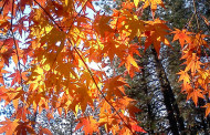 Spadające liście z drzewa sąsiada a prawo